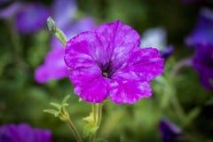 Purpurrote Blume mit Unschärfeeffekt Stockbilder