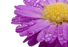 Purpurrote Blume mit Wassertropfen Stockfotos