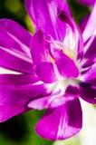 Purpurrote Blume mit weißen Streifen Lizenzfreies Stockbild