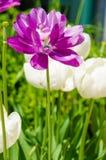 Purpurrote Blume mit weißen Streifen und weißen Blumen Lizenzfreie Stockfotos