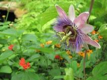 Purpurrote Blume oben Lizenzfreies Stockbild