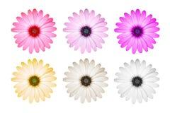 Purpurrote Blume/Osteospermum Stockfotos