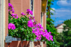 Purpurrote Blume Pelargonie, Pelargonie auf dem Balkon Stockbild