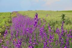 Purpurrote Blume Solated vor einem langen Feld die gleichen Blumen Lizenzfreies Stockfoto