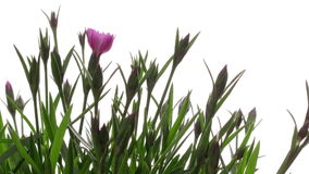 Purpurrote Blume Timelapse Stockfoto
