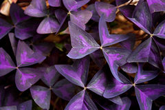Purpurrote Blume treibt Hintergrund Blätter Stockbilder