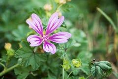 Purpurrote Blume und Ameise Stockfotografie