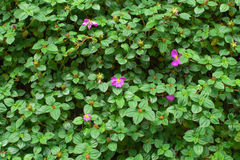 Purpurrote Blume und grüne Blätter des spanischen Schals Stockbild
