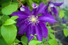Purpurrote Blume von Klematis - Ranunculaceae im Garten stockfoto