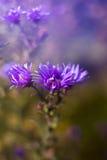 Purpurrote Blume Wilde mit bokeh Stockbilder
