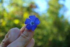 Purpurrote Blume zwischen Fingern an einem sonnigen Tag! stockbild