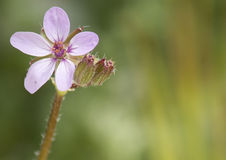 Purpurrote Blumen Lizenzfreies Stockbild