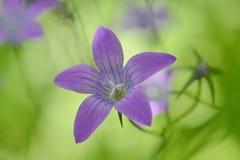 Purpurrote Blumen Stockbild