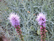 Purpurrote Blumen Lizenzfreie Stockbilder
