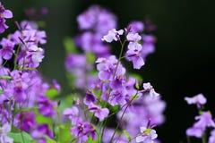 Purpurrote Blumen Stockfotografie