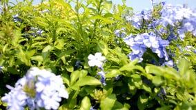 Purpurrote Blumen stock footage