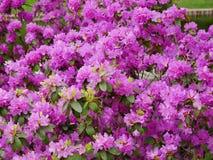 Purpurrote Blumen stockbilder