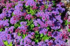 Purpurrote Blumen Lizenzfreie Stockfotos