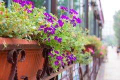 Purpurrote Blumen außerhalb des Fensters Stockfotografie