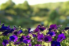 Purpurrote Blumen auf Brückengeländer Lizenzfreies Stockfoto