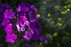 Purpurrote Blumen auf dem grünen sonnigen Feld Sun Blendenflecke Bokeh Lizenzfreie Stockfotografie