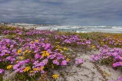 Purpurrote Blumen auf den Dünen Stockbilder