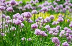 Purpurrote Blumen auf einem Flecken von Schnittlauchen Lizenzfreie Stockfotos