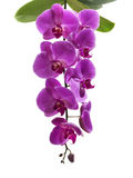 Purpurrote Blumen auf einem weißen Hintergrund lizenzfreie stockfotos