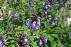 Purpurrote Blumen auf einem weisen Busch, Nahaufnahme lizenzfreie stockbilder