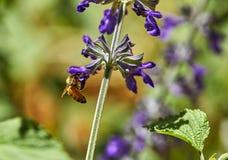 Purpurrote Blumen bestäubten durch eine Biene in einem Park lizenzfreie stockfotografie