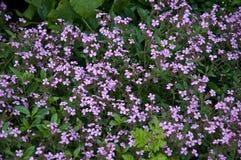 Purpurrote Blumen in der Blüte Stockfotos