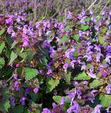 Purpurrote Blumen in der Naturfrühlingssonne Stockfotografie