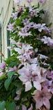 Purpurrote Blumen, die auf einer Wand blühen lizenzfreie stockbilder