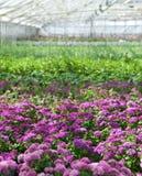 Purpurrote Blumen, die in einem Gewächshaus blühen Lizenzfreies Stockfoto