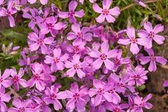Purpurrote Blumen einer styloid Nahaufnahme der Flammenblume im Frühjahr Lizenzfreie Stockfotografie