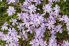 Purpurrote Blumen einer styloid Nahaufnahme der Flammenblume im Frühjahr Lizenzfreie Stockfotos