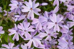 Purpurrote Blumen einer styloid Nahaufnahme der Flammenblume im Frühjahr Stockfoto