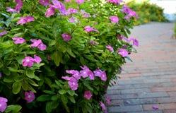 Purpurrote Blumen entlang einem Ziegelsteinweg Stockfotos