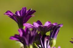 Purpurrote Blumen gegen grünen Hintergrund stockfoto