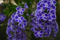 Purpurrote Blumen gemischt mit Weiß stockfoto