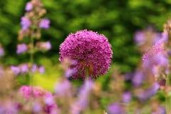 Purpurrote Blumen-Hauch-Ball-Lauch Stockfoto