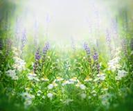Purpurrote Blumen im Frühjahr beleuchtet durch die Sonne Stockfotos