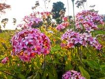 Purpurrote Blumen im Garten Stockfotos