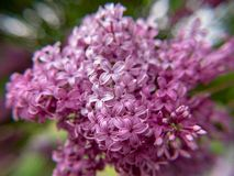 Purpurrote Blumen im Garten lizenzfreie stockbilder