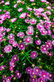 Purpurrote Blumen in Japan Lizenzfreie Stockfotos