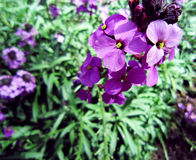Purpurrote Blumen in Kensington Garder Lizenzfreie Stockfotografie