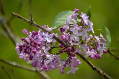 Purpurrote Blumen-Knospen Stockfotos