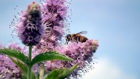Purpurrote Blumen mit Biene im Garten stockfotos