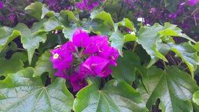 Purpurrote Blumen mit grünem Blatthintergrund stock footage