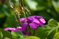 Purpurrote Blumen mit grünem Hintergrund Lizenzfreies Stockbild